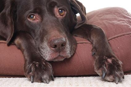 Hund mit Schmerzen