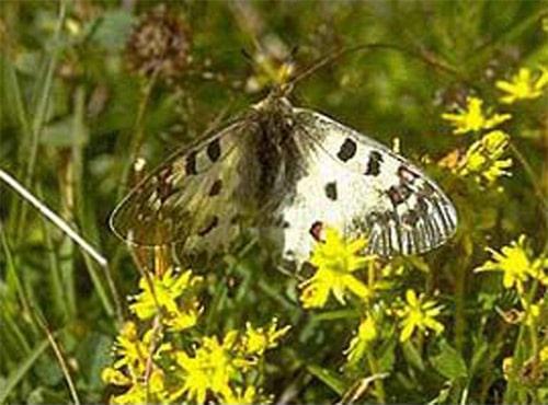 Apollofalter Schmetterling