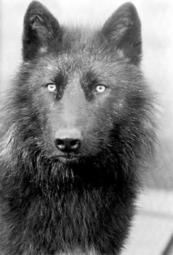 Canis lupus