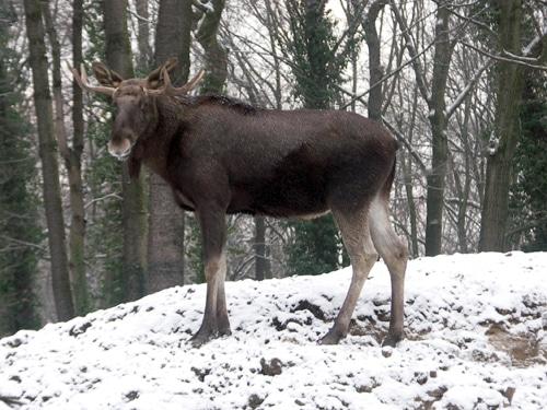 Elch im Winter