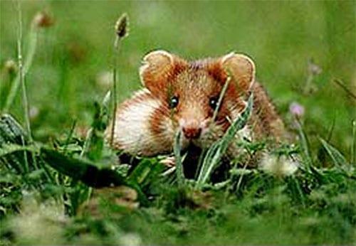 Feldhamster Tier des Jahres 1996