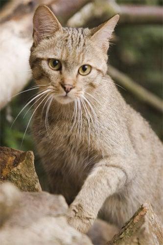 wildkatze tier des jahres 1993